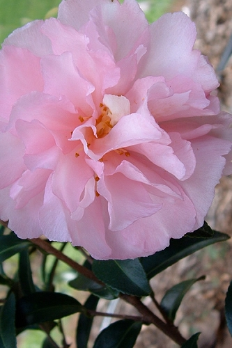 Cotton Candy Camellia Sasanqua - 3 Gallon Pot