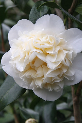 Fifth Avenue White Camellia Japonica - 3 Gallon Pot