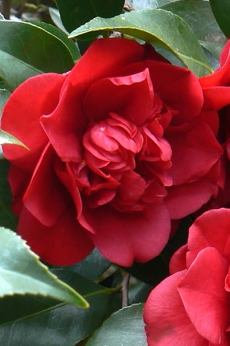 Governor Mouton Red Camellia Japonica - 1 Gallon Pot
