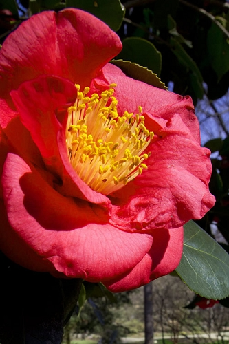Greensboro Red Camellia Japonica - 3 Gallon Pot - SALE!