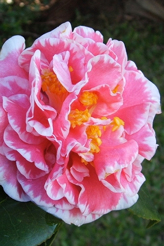 Jean Clere Camellia Japonica
