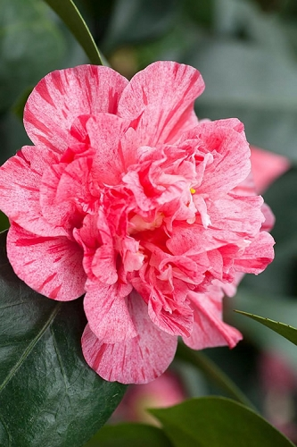 Kick Off Camellia - 3 Gallon Pot