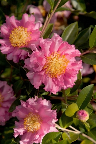 October Magic Carpet Dwarf Camellia - 3 Gallon Pot