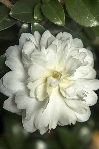 October Magic Ivory Camellia - 3 Gallon Pot