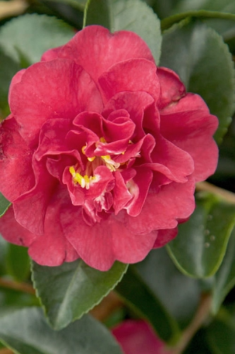 October Magic Ruby Camellia