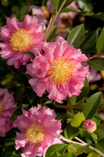 October Magic Carpet Camellia