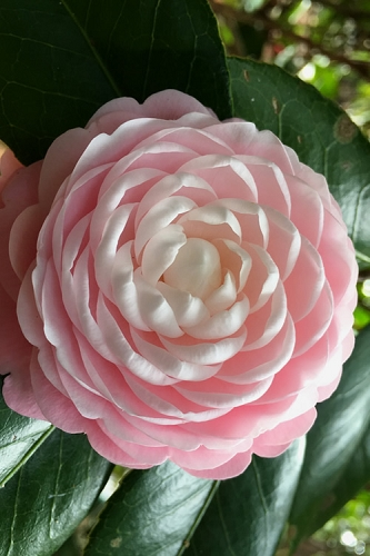 Pink Perfection Camellia Japonica - 3 Gallon Pot