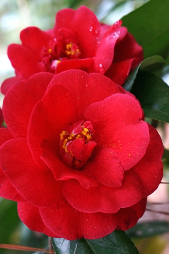 Rose Hill Red Camellia Japonica