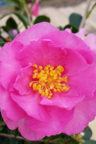 Stephanie Golden Dwarf Camellia Sasanqua - 3 Gallon Pot