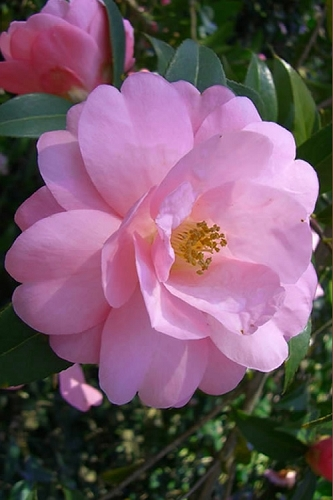 Taylors Perfection Pink Camellia Hybrid - 3 Gallon Pot