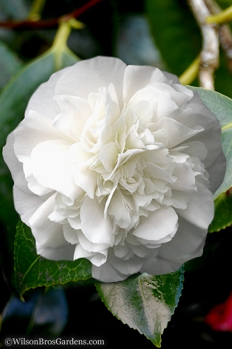 White Debutante Camellia - 3 Gallon Pot