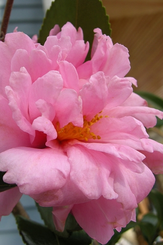 Winter's Charm Cold Hardy Pink Camellia