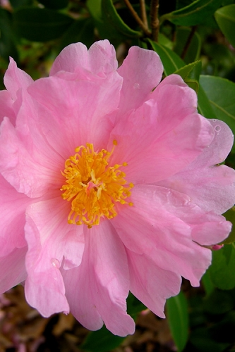 Winter's Dream Cold Hardy Pink Camellia