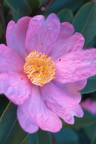 Winter's Star Cold Hardy Camellia