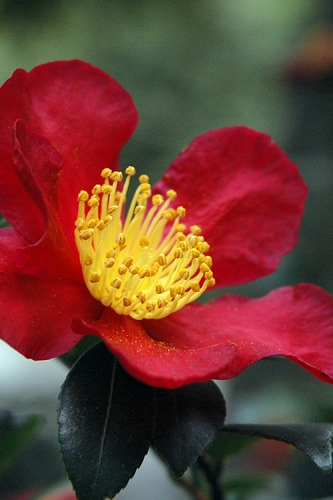 Yuletide Camellia Sasanqua - 3 Gallon Pot