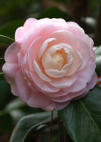 Pink Perfection Camellia Japonica - 1 Gallon Pot