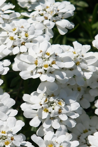 Purity Candytuft - Iberis - 2.5 Quart Pot