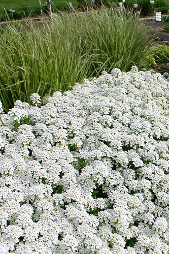 Tahoe Candytuft - Iberis sempervirens - 10 Count Flat of Quart Pots