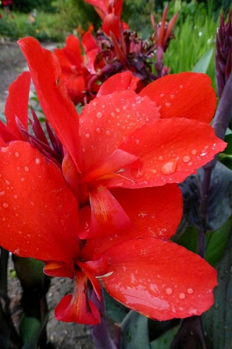 Cannova Bronze Scarlet Canna Lily - 1 Gallon Pot