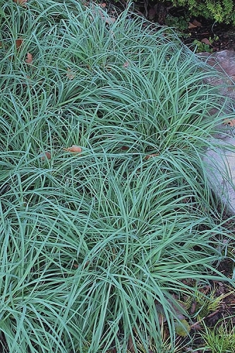 Blue Zinger Sedge - Carex flacca - 6 Pack of 1 Gallon Pots