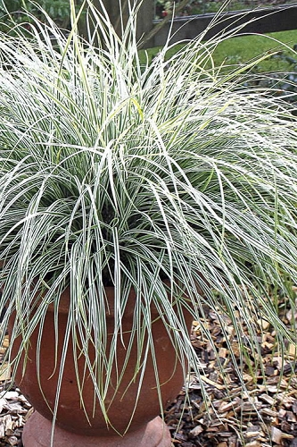 Evercolor Everest Carex - 2.5 Quart Pot