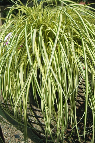 Carex hachijoensis - Evergold Japanese Sedge - 10 Count Flats of Quart Pots