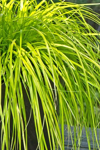 Evercolor Everillo Carex - 2.5 Quart Pot