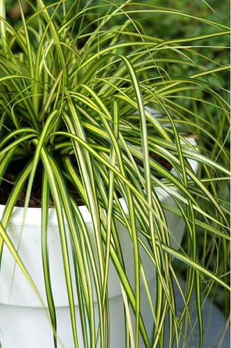 Evercolor Eversheen Carex  - 2.5 Quart Pot