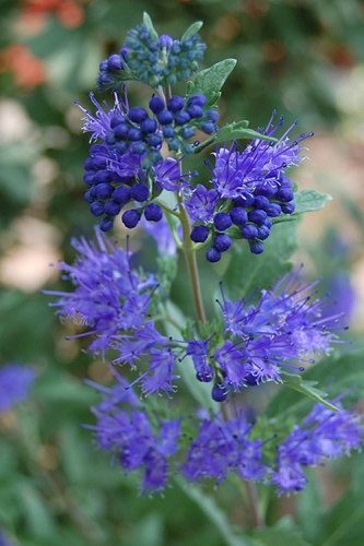Longwood Blue Caryopteris