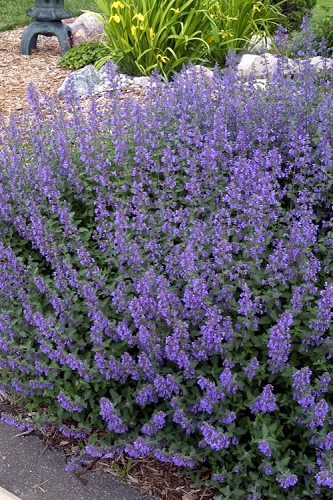 Walker's Low Catmint (Nepeta x faassenii) - 1 Gallon Pot