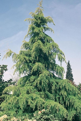 Deodar Cedar - 5 Gallon Pot