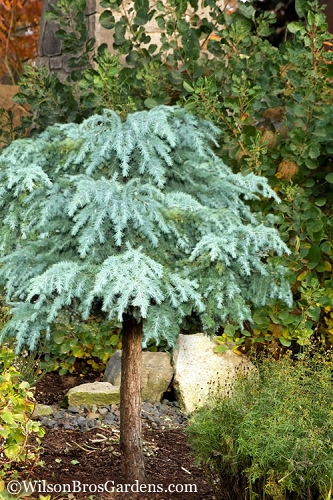 Divinely Blue Deodar Cedar Tree (Single Trunk Topiary) - 5 Gallon Pot