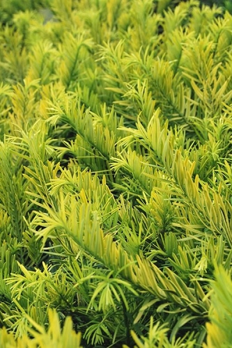 Golden Dragon Plum Yew - Cephalotaxus harringtonia 'Golden' - 1 Gallon Pot