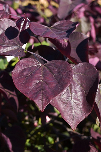 Black Pearl Eastern Redbud Tree - 5 Gallon Pot