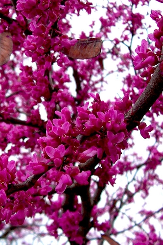 Oklahoma Redbud Tree - 5 Gallon Pot