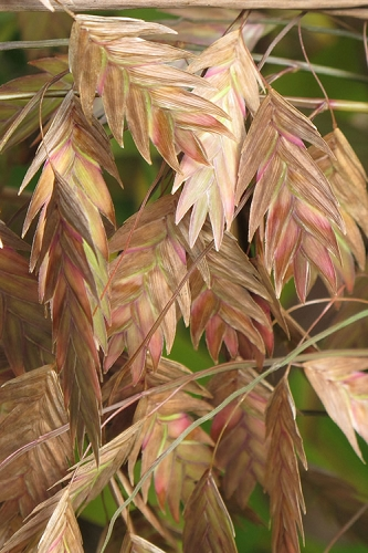 Northern Sea Oats - Chasmanthium latifolium - 6-Pack of 1 Gallon Pots