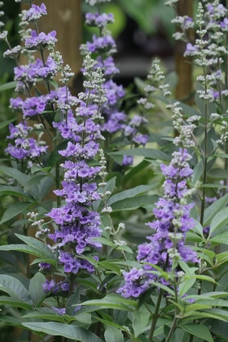 Lavender Lady Chaste Tree - Vitex - 3 Gallon Pot
