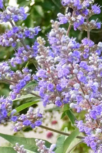 Lavender Lady Chaste Tree - Vitex