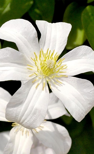 Huldine Clematis - 1 Gallon Pot