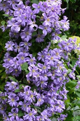 Prince Charles Clematis - 1 Gallon Pot