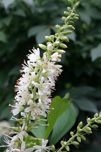 Sugartina Crystalina Summersweet - Clethra
