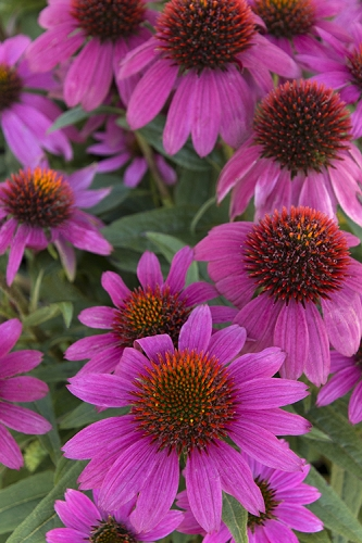 PowWow Wild Berry Coneflower - Echinacea - 2.5 Quart Pot