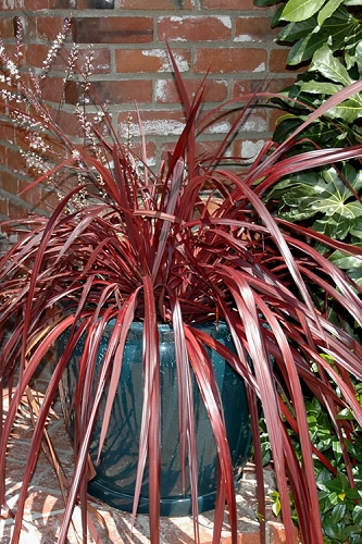 Design-A-Line Cordyline - 1 Gallon Pot
