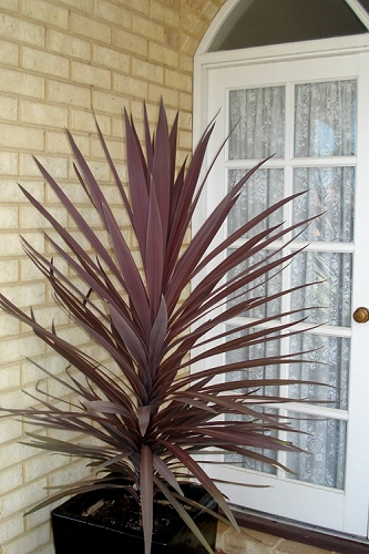 Red Sensation Cordyline - 5