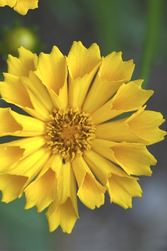 Jethro Tull Coreopsis - Tickseed - 2.5 Quart Pot
