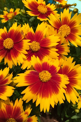 Uptick Gold and Bronze Coreopsis - 5 Pack of Quart Pots