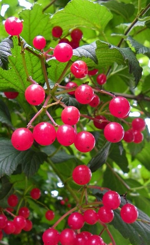 Cranberry Viburnum (Highbush) - 1 Gallon Pot