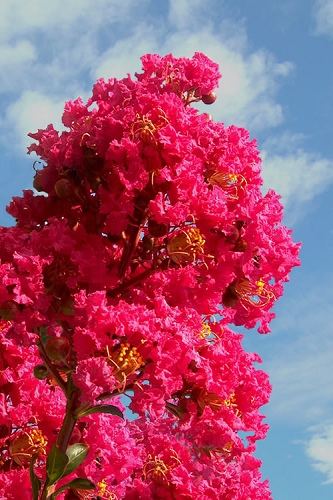 Tuscarora Watermelon Red Crape Myrtle - 3 Gallon Pot