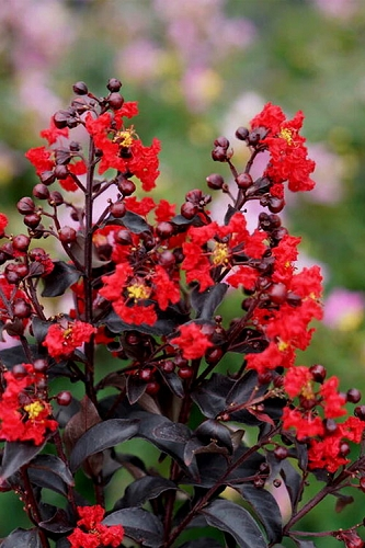 Center Stage Red Black Leaf Crape Myrtle - 3 Gallon Pot