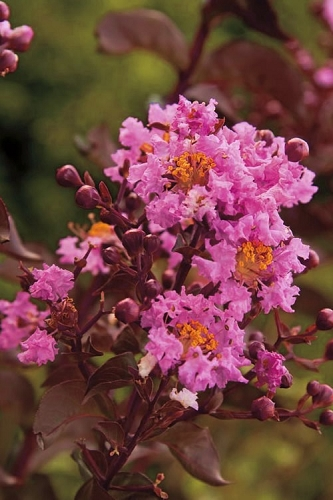 Delta Eclipse Crape Myrtle - 3 Gallon Pot